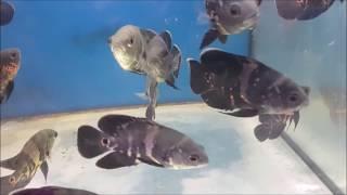 LIOW VIDEO: At QIAN HU fish farm (Part 1/2) 仟湖鱼场之游 (Music : Anna Koh)
