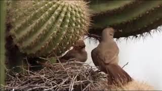 Tổ Chim Non Trên Thân Xương Rồng