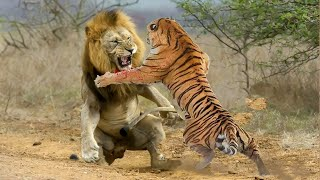 Tiger VS Lion. Who would win?