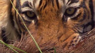 Tiger VS Boar | BBC Earth