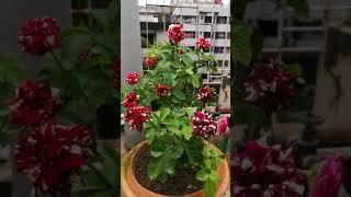 Abracadabra Rose Black Tiger Rose ( Full Bloom )