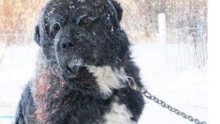 Zlostavljani pas proveo 4 godine u lancima – a nećete vjerovati kada vidite kakav heroj ga je spasio!