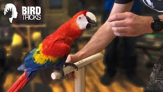 Training a Scarlet Macaw To Be Less Nippy | THE BIRDIE BUBBLE