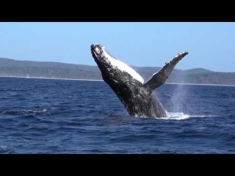 Whale Watching Hervey Bay - 2016