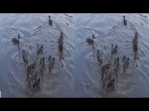 Ducks 3D! Hungry Duck's Brotherhood ! 3D VIDEO