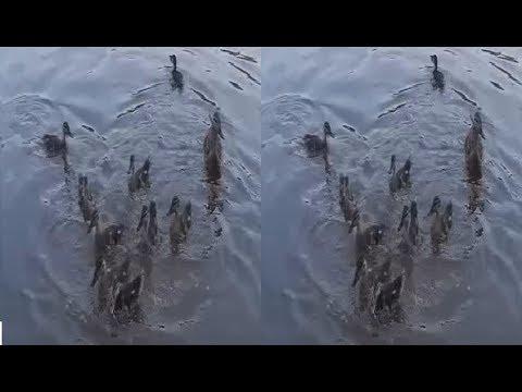 Ducks 3D! Hungry Duck's Brotherhood ! 3D VIDEO
