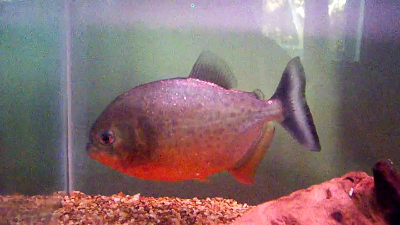 red belly piranha names Chomper - YouTube