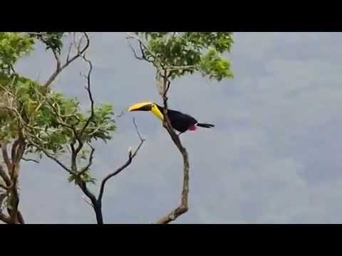 Keel billed Toucan filed at Arenal, Costa Rica
