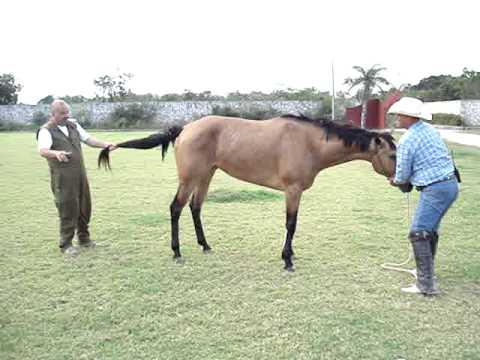 Konj pod anestezijom