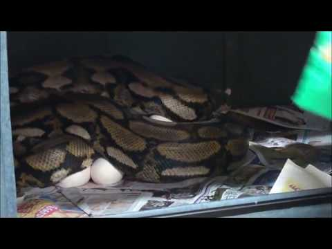 爬蟲瘋。Herpaholic。2012網紋蟒媽媽下蛋