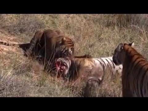 LUTA MORTAL - TIGRE VS TIGRE - Vídeo Real ( DEADLY FIGHT - TIGER vs TIGER - Real Video )