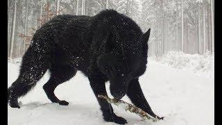 Best German Shepherd Black Dogs - Black Dogs