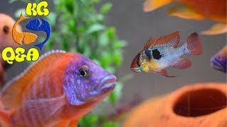 Can You Put German Blue Rams with Africans? Food For African Cichlids,Water Stains On Aquarium Glass