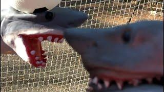 Shark Puppet plays SOCCER!