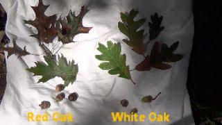Red Oak vs  White Oak