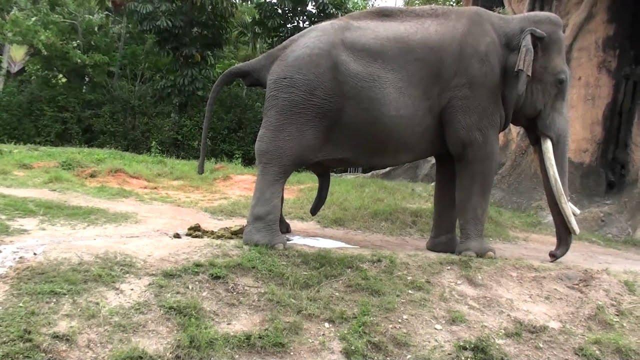 Gran polla elefante tubo