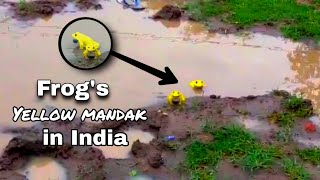 OMG!! Yellow frogs spotted in Madhya Pradesh, video goes v..