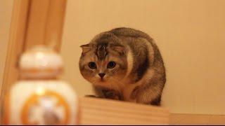 CAT vs BB-8 / Star Wars sphero / 猫のいもたろう