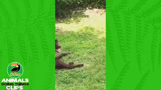 Two Dogs Playing on Grass | Animals Doing Things Clips