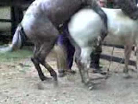 Uzimanje semena (ejakulata) od konja