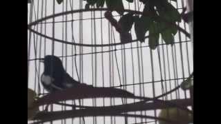 Chòe than già rừng & giai điệu mùa hè 1 (30-04-2014).Oriental Magpie Robin