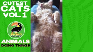 Cutest Cats Compilation Vol. 1 | Funniest Animals Doing Things