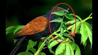 Đi tìm cây thuốc mà chim bìm bịp mẹ mang về đắp cho chim non lành xương