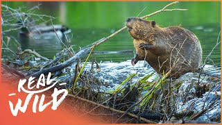 Why Do Beavers Build Dams? Nature's Engineers (Wildlife Documentary) | Natural Kingdom | Real Wild