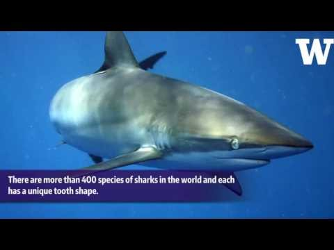 How do shark teeth bite? Reciprocating saw and glue provide answers
