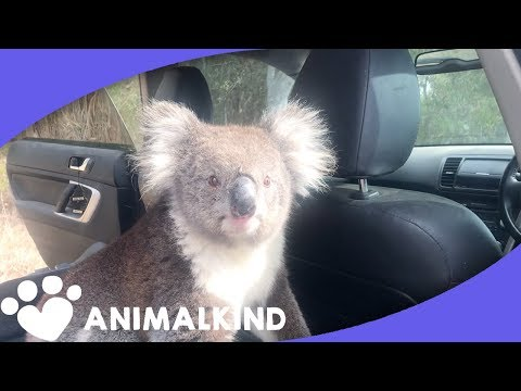 Koala Leaps Into Car. Scares Man And His Dog