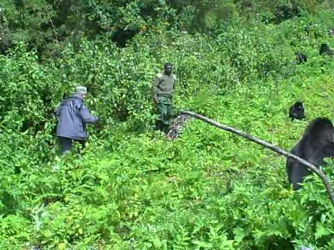 Gorilla trekking in Rwanda, Silverback wel erg dichtbij! (deel 1)
