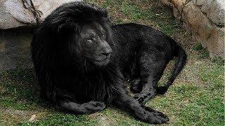 7 Raças De Leões Que São Únicas No Mundo