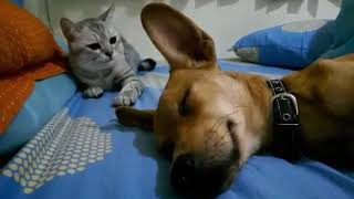 Laugh Challenge! Cat Attacks Sleeping Dog For This Reason
