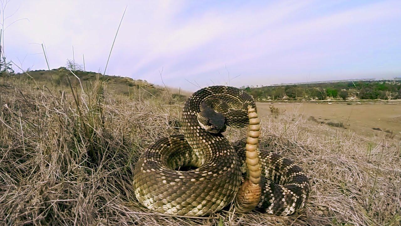 Les sauveteurs de serpents à sonnette