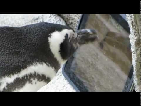 iPad pingvin