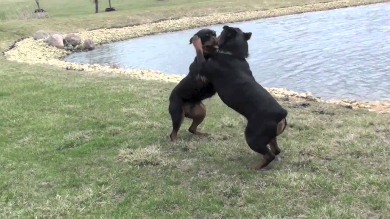 Pitbull Dog Vs Rottweiler Fight