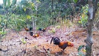 Liat Proses Memikat Ayam Hutan Sampai Ayamnya Berhasil Kenak Racik Tabur