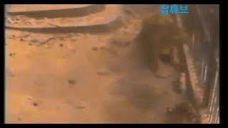 Sư tử và hổ bị nhốt chung 1 chuồng: Kết quả trận đại chiến họ nhà mèo sẽ ra sao?