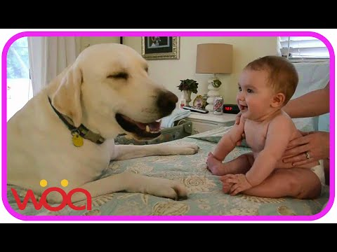 Baby Laughing at Labrador Dog because they are best friends | Dog loves Baby Compilation