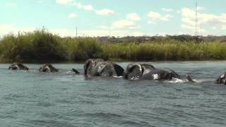 Family of Elephants Swim Across The Chobe River, Botswana, Africa