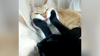0% CHANCE that you will NOT LAUGH 😺 😺 FUNNIEST CAT VIDEOS