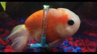 Chú cá vàng được chủ sắm cho xe lăn riêng để di chuyển