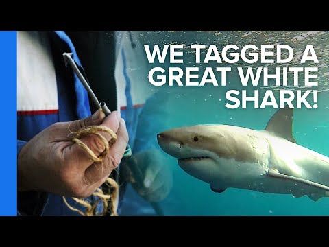 How To Tag A Great White Shark - Smashpipe Science