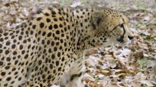 Smithsonian's National Zoo's Cheetah Conservation Station