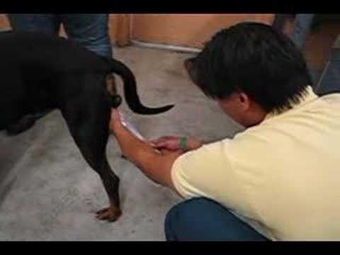 Uzimanje sperme od psa