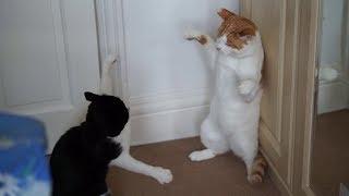 Crazy Cat Fight : Original
