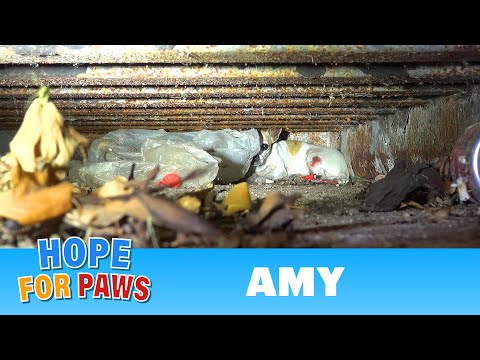 Hope For Paws: Amy - an injured Chihuahua hiding from rescuers. Find out how YOU can help her today!