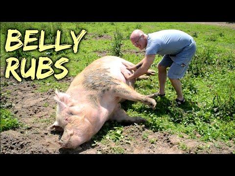 Belly Rubs - Rescued Pigs at SASHA Farm Animal Sanctuary