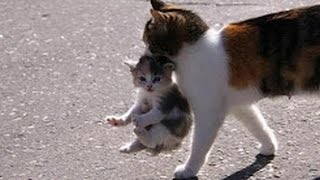 Mama Cat Carrying Baby Kittens Videos Compilation 2017