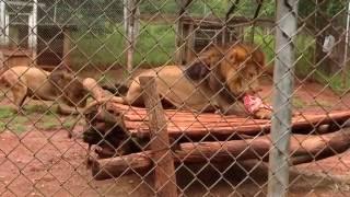 Watching Lions Get Fed at Nairobi National Park in Kenya